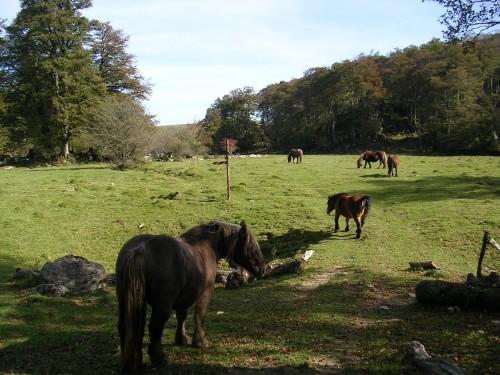 Cabalos no Bosque de Ursario. Selva de Irati