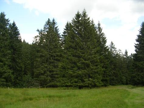 Piceas na Selva Negra (Alemaña)