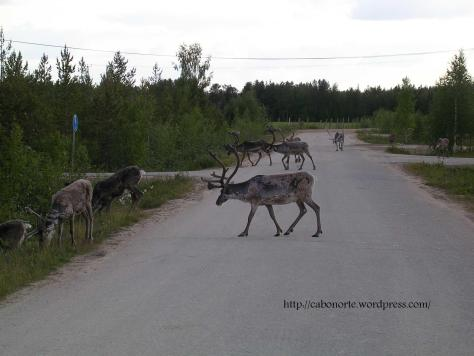 Reindeers in Ivalo, Finland