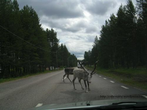 Reindeers on the road, Sweden