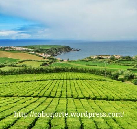 plantacion de té de Porto Formoso