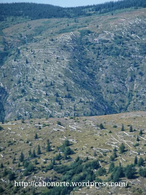 Árbores caídos tras a erupción de 1980