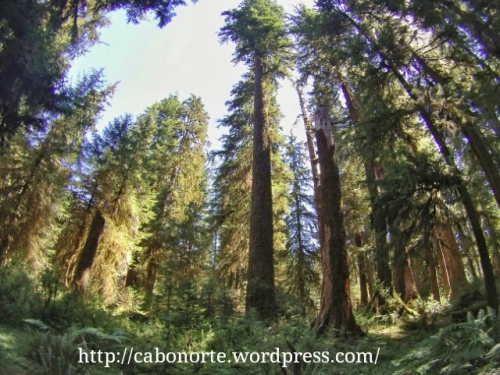 Bosque templado de coníferas