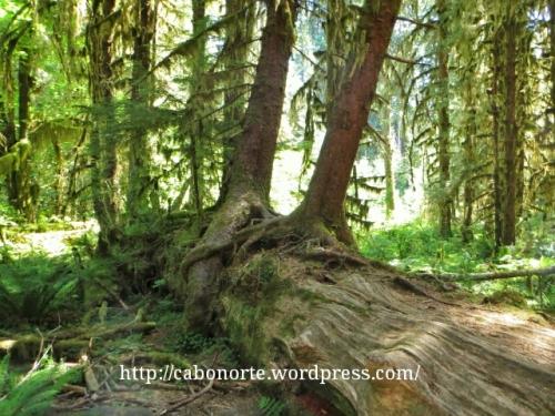 Árbores que crecen sobre os troncos na Selva de Hoh