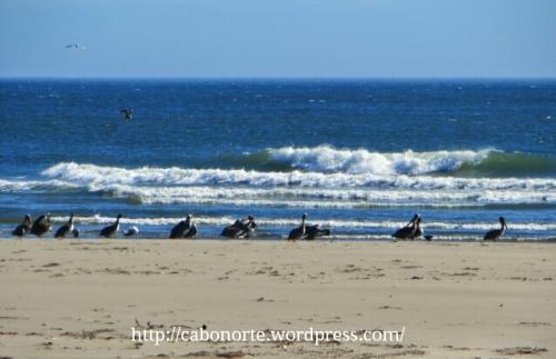 Paxaros nas praias do Pacífico